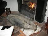 Very Smart Warthog At Rest